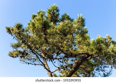 Pine trees at Rio de Moinhos Beach in Esposende, Portugal.