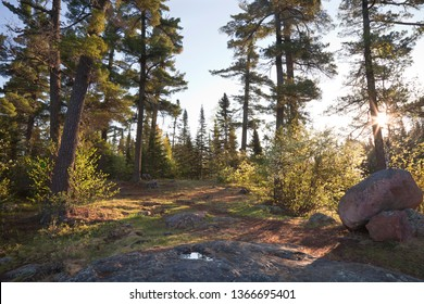 Pine trees with rocks and path on a clear morning in northern Minnesota