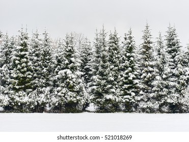 Pine trees in a row. Snowy forest. Latvia. Northern Europe