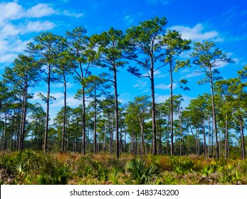 Pine trees and saw palmettos in a Florida state park with a vibrant blue sky in the background.