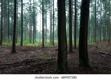 Pine trees in the Scheleberg forest after a rainfall in Lunteren, The Netherlands.