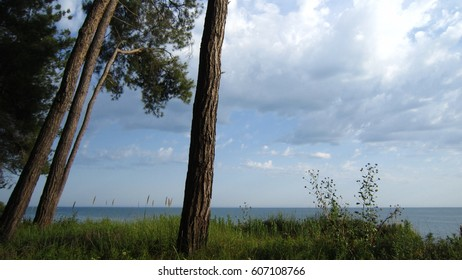 Pine trees and sea surface