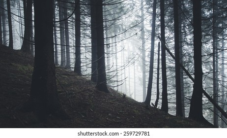 pine trees silhouettes at the edge of forest