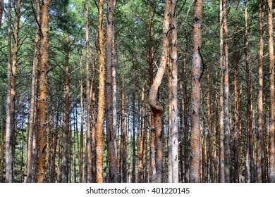 pine trees with a single curved trunk among dense wood of straight ones