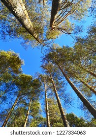pine trees and sky