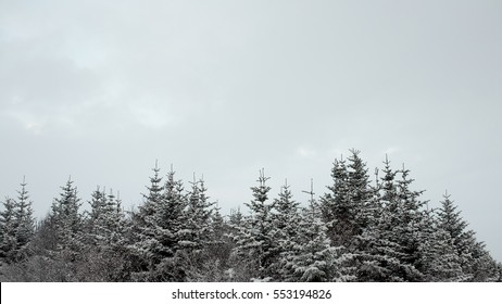 Pine trees with snow, Iceland