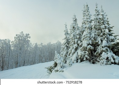 Pine trees in snow, Ural, Russia