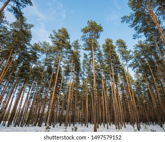 Pine trees in a snowy forest in early spring. Spring season, March.