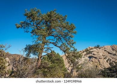 Pine Trees stand over sandstone rock boulders in the San Gabriel Mountains of California.