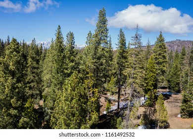Pine trees stand in the Sierra Nevada mountains of central California.
