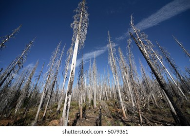 Pine trees stand silent after being destroyed by a forest fire.