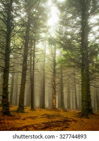Pine trees stand tall in the foggy forest along the Blue Ridge Parkway in the North Carolina mountains.