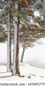 Pine trees in sunny winter landscape