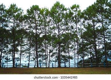 Pine Trees in Thailand.