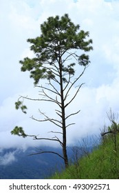 Pine trees in top of mountain, Thailand.