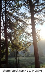 Pine trees under the sun and morning mist. This is a tall tree growing in Asia.
