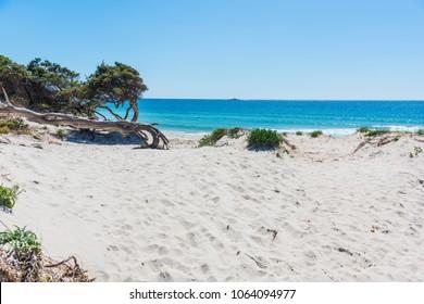 Pine trees and white sand in Maria Pia beach in Alghero. Sardinia, Italy
