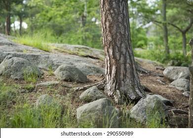 Pine trunk.