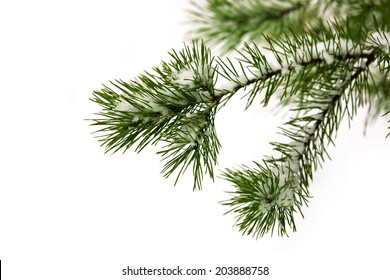 pine twig under snow in winter time
