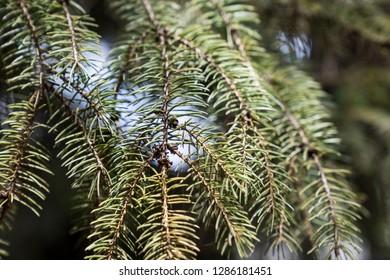 pine twigs lit by sunlight