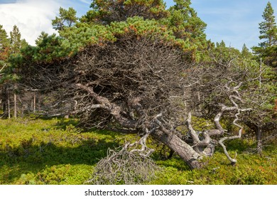 Pine with twisted trunk on the coast of the White Sea, Russia. A tree with a twisty, twisted trunk and branches with a picturesque view