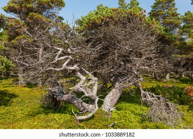 Pine with twisted trunk on the coast of the White Sea, Russia.