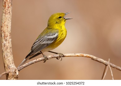 A Pine Warbler