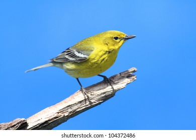 Pine Warbler (Dendroica Setophaga pinus) on a branch in early spring