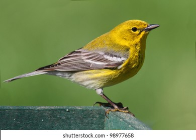 Pine Warbler (Dendroica Setophaga pinus) on a feeder in early spring