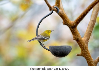 Pine Warbler Perched on Small Bird Feeder in Louisiana in January
