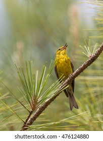 Pine Warbler (Setophaga pinus) singing from a branch in a pine tree