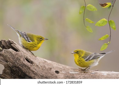 Pine Warblers Face Off
