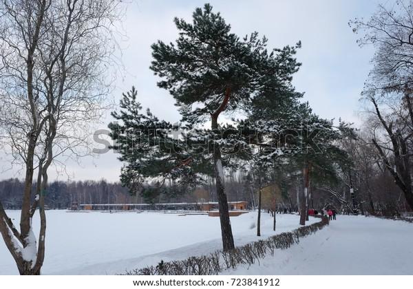 Pine in winter. Izmailovsky Park.