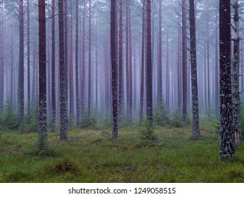 Pine wood in a foggy day