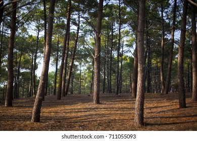 Pine wood trees in a forest near Bordeaux