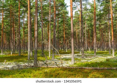 Pine woodland with a fallen tree in the summer
