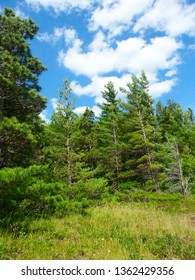Pine woodlands of Porcupine Mountains State Park Michigan