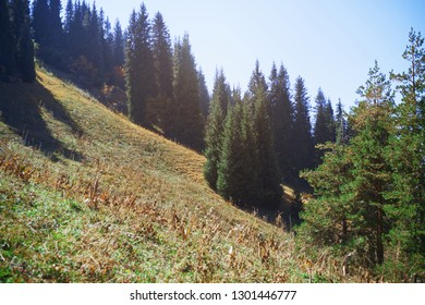Pine woods in mountain forest
