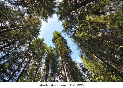 Pine woods of Val di Fassa, Dolomites, Alps, Italy