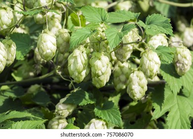 Pineal fruit of common hop (Humulus lupulus)