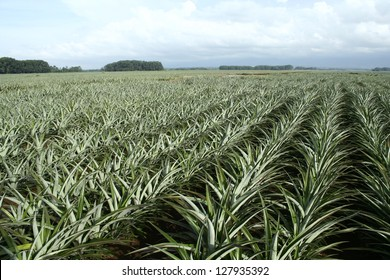 Pineapple Farm Field