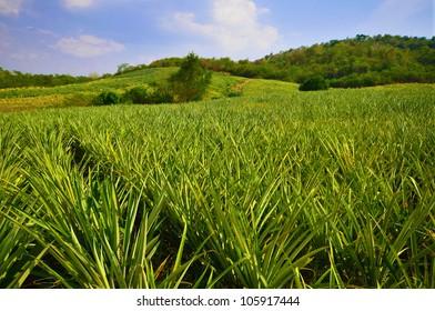 Pineapple farm , fruits field with beautiful sky