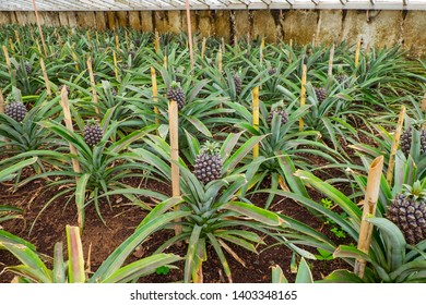 Pineapple farm with rows young pineapple in the greenhouse in Azores.