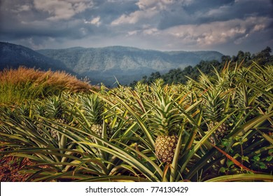 Pineapple farm at top of mountain in Loei Province, Thailand