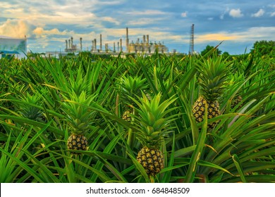 Pineapple farm.Pineapple cultivation in the field.