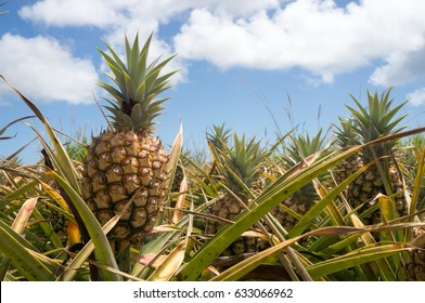 Pineapple field in Maui, Hawaii