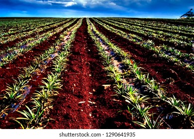 Pineapple field, near Mililani, Oahu, Hawaii, USA