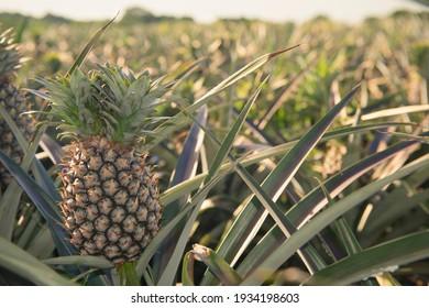 Pineapple field in Veracruz, Mexico
