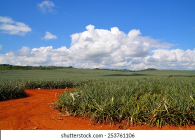 Pineapple fields in Costa Rica