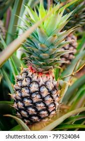 Pineapple fruit in farm, Nice tropical fruit plant